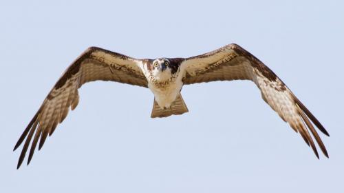 Osprey (adult female)