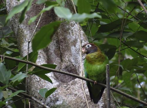 Brown-hooded Parrot_2
