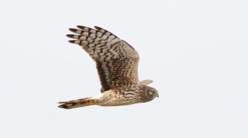 Northern Harrier (adult female)