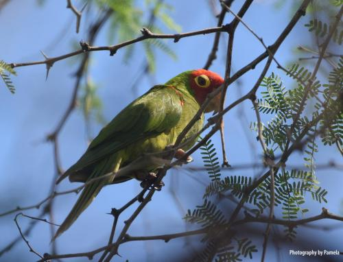 Red-necked Parakeet