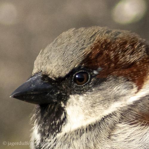 Sparrow head