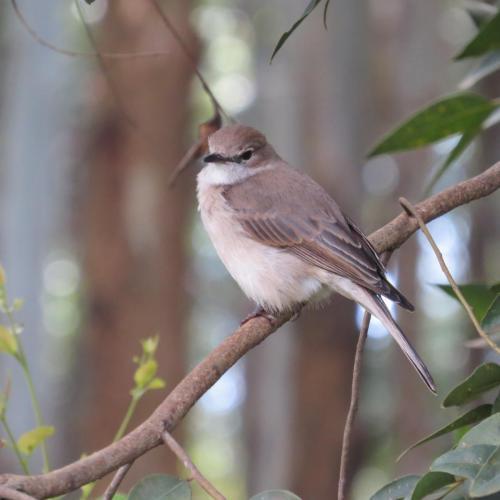 Pale Flycatcher