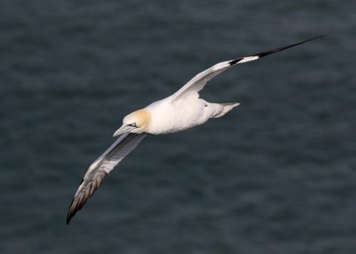 gannet12