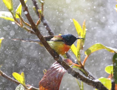 Green-tailed-sunbird-male6