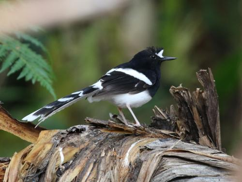 white-crowned-forktail6