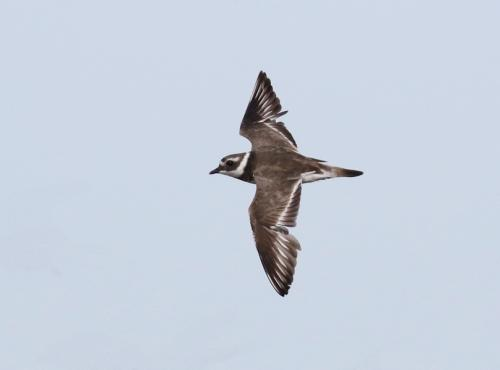 common-ringed-plover15
