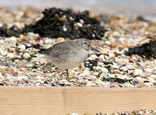 red-knot6