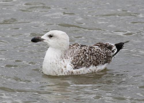 great-black-backed-gull17