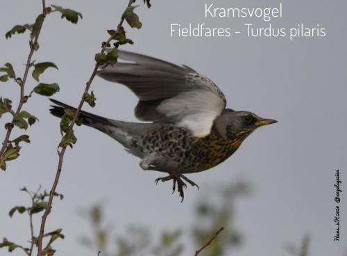 Kramsvogel 06