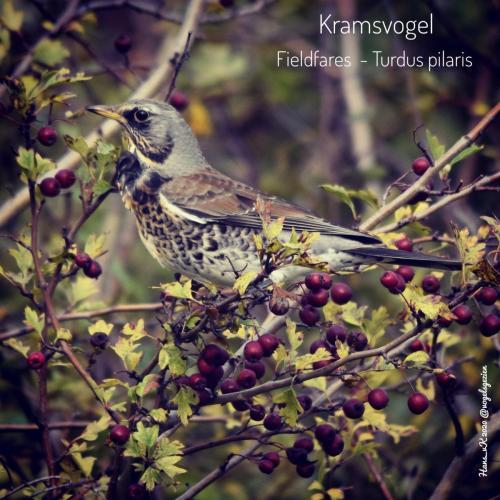 Kramsvogel 03