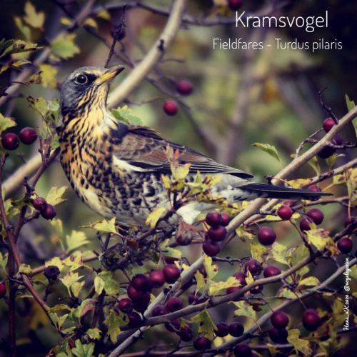 Kramsvogel 01