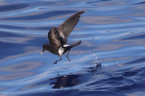 Madeira Pelagic 2020-08-11 332