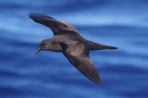 Madeira Pelagic 2020-08-10 592