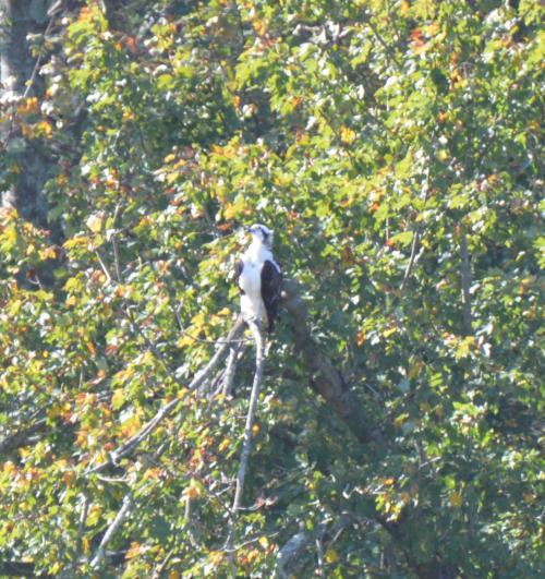 Western Osprey
